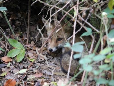Een vos in de bos!