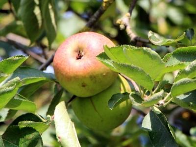 La récolte des pommes...
